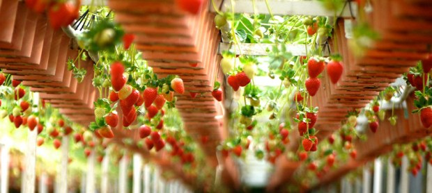 Erdbereren sind ideal fürs vertikale Gärtnern. Foto: Pixabay