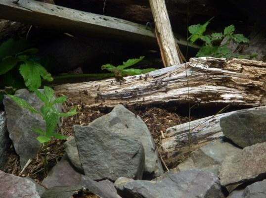 Ameisenhaufen im Naturlehrgarten in Ranis