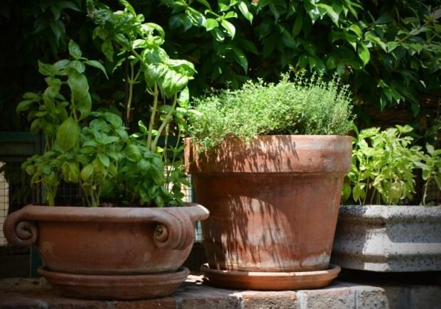 Basilikum und Thymian sind tolle Gartenpflanzen. Foto: Pixabay