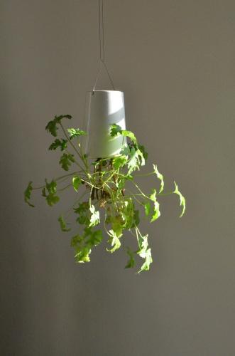 Kopfüber hängende Zimmerpflanze, hier Ziteronengeranie. Foto: Pixabay