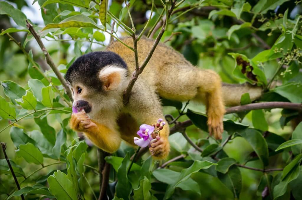 Monkey eating flower in pampas Amazon, Bolivia