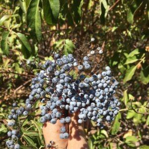 Gathering Wild Elderberries - The Very Easy Veggie Garden