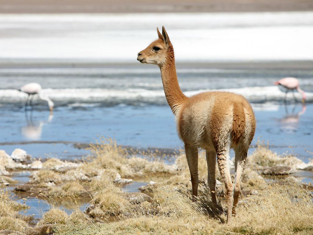 Une vigogne en liberté