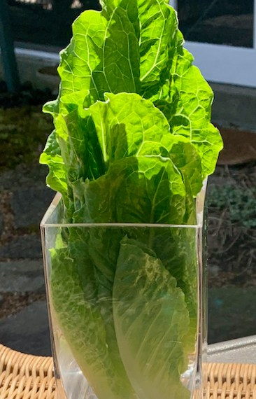 Store Greens and Lettuce in glass containers for a beautiful display in the fridge or as a Fresh centerpiece.
