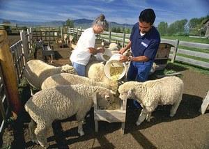 ovcevodstvo-kak-biznes-dlya-nachinayushhego-fermera-3