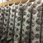 Урожайность грибных блоков