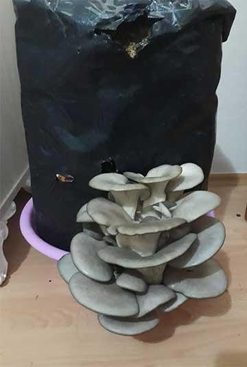 грибной блок вешенки в миске