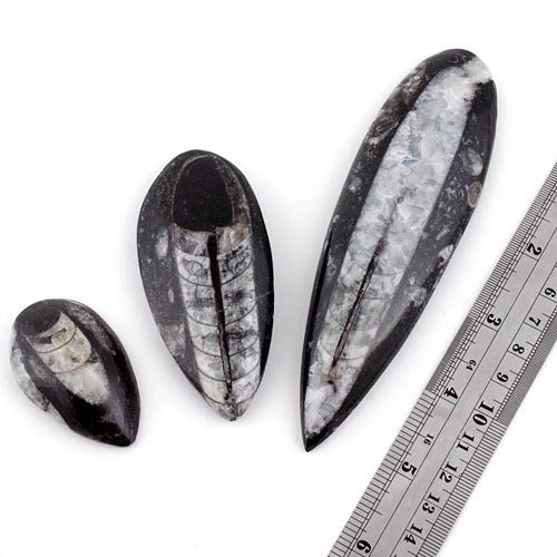 ortocerius c Orthocerus, Fossil, Madagascar Vesica Institute for Holistic Studies