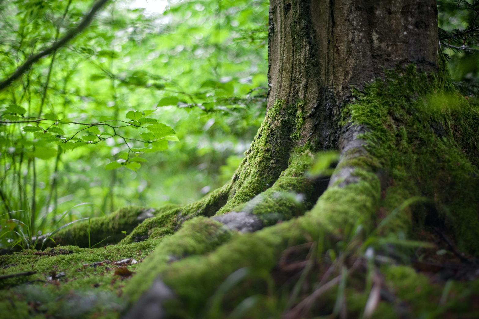 Et tre i skogen. Foto.