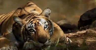 тигриця