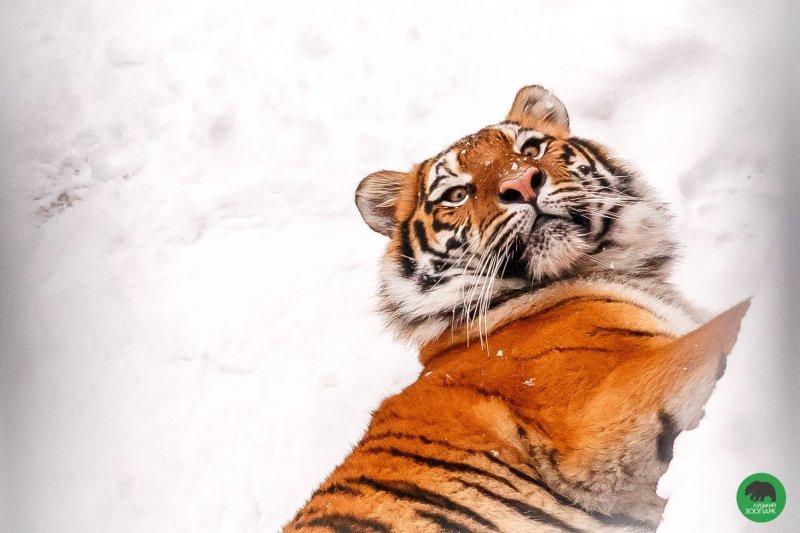тигри1