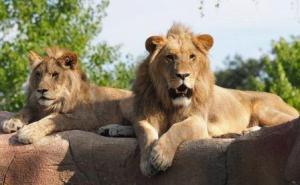 Ташкентский зоопарк обменял двух львов на крыс и мышей из Минска