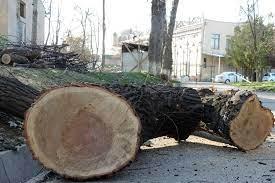 Бекабадцы вырубили чинары у своего дома: за 128-миллионный ущерб штраф - 2 млн сумов