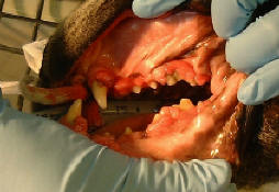 Dental Problems Of Dogs Amp Cats