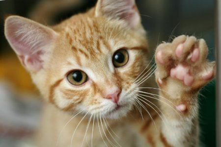 Kedi Tırmalama Hastalığı