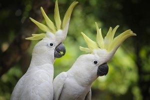 Kakadu Papağanı