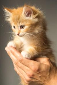 orange kitten in hand