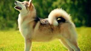 husky dog show stance