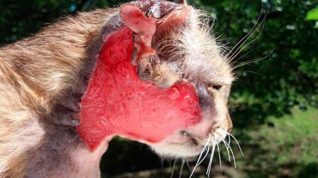 рана у кота на шеке