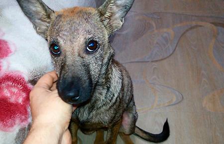 демодекоз у собаки