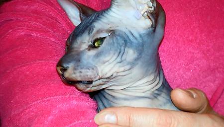 короткая челюсть у сфинкса