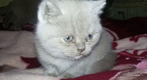 Котенок болен калицивирозом
