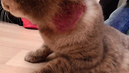 полысела шея у кошки