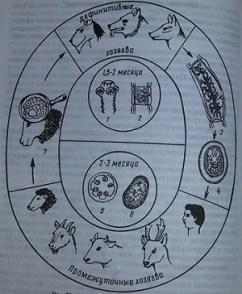 цикл развития глистов