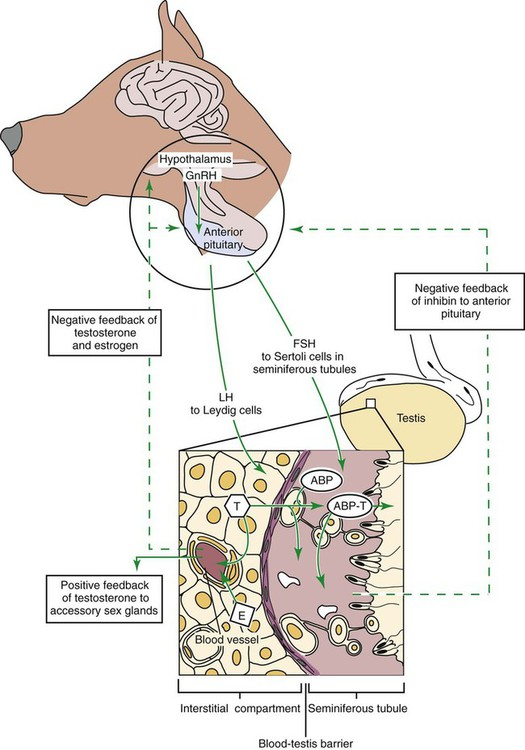 Reproductive Physiology Of The Male Veterian Key