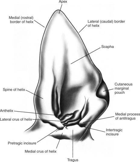 Anatomy of the Canine and Feline Ear | Veterian Key