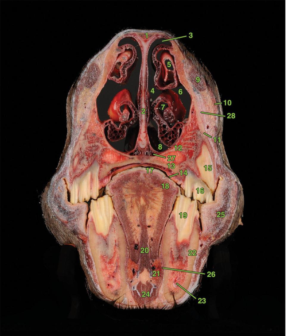 Photo of transverse section 4 displaying the nasal and sinus structures, oral and dental structures, vascular anatomy, orbicularis oris m., and buccal salivary gland of a horse.