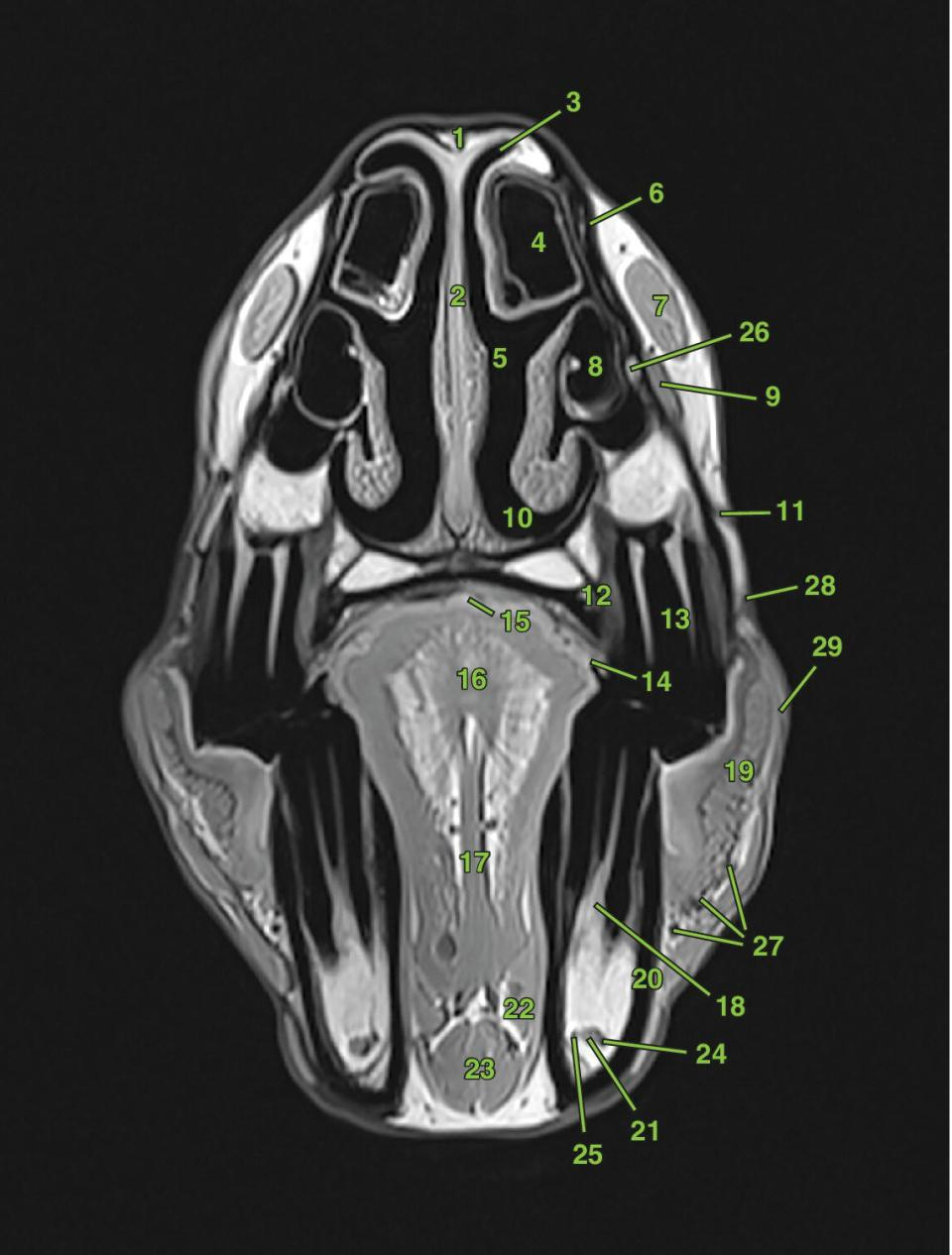 Photo of the equine skull in left-side view, with a vertical line labeled T5.
