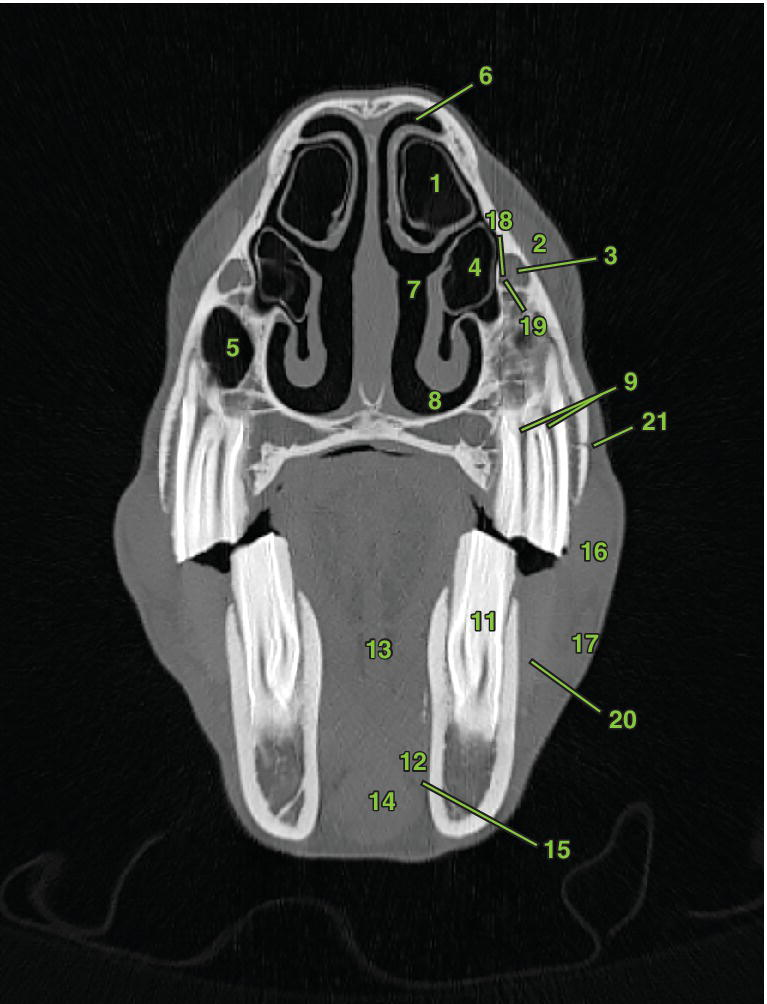 Photo of transverse section 5 displaying the nasal and sinus structures, oral and dental structures, glandular structures, vascular anatomy, muscles, and bones of the head of a horse.