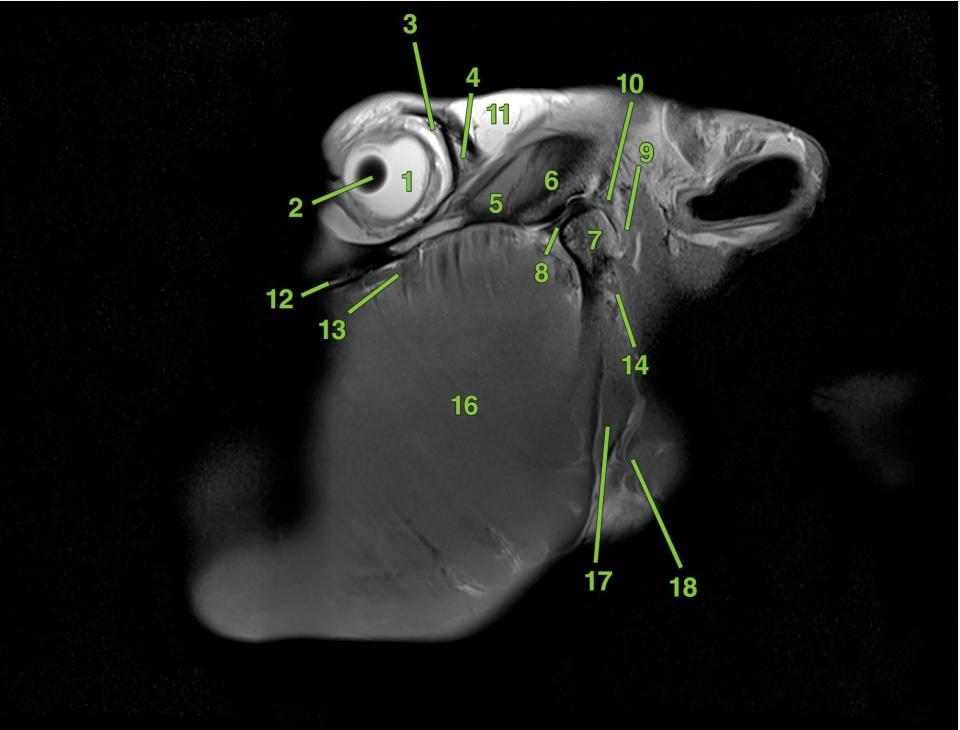 Radiograph of the sagittal section of the equine head.