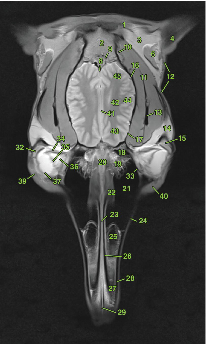 Radiograph of the dorsal section of the equine head.