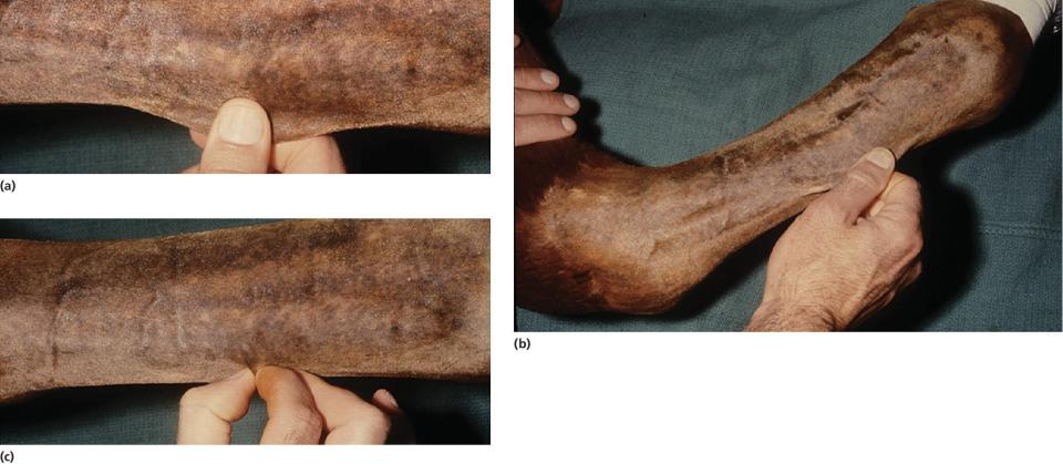 Three photos displaying a hand pulling and pinching the skin of the horse's forelimb, depicting the tension lines and maximal extensibility of skin.