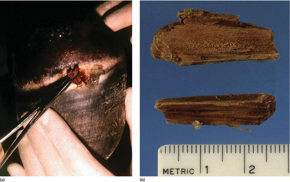 2 Photos of a persistent drainage from a wound at the coronary band of a horse. They display a splinter of wood being removed (left) and a wood splinter after removal (right).
