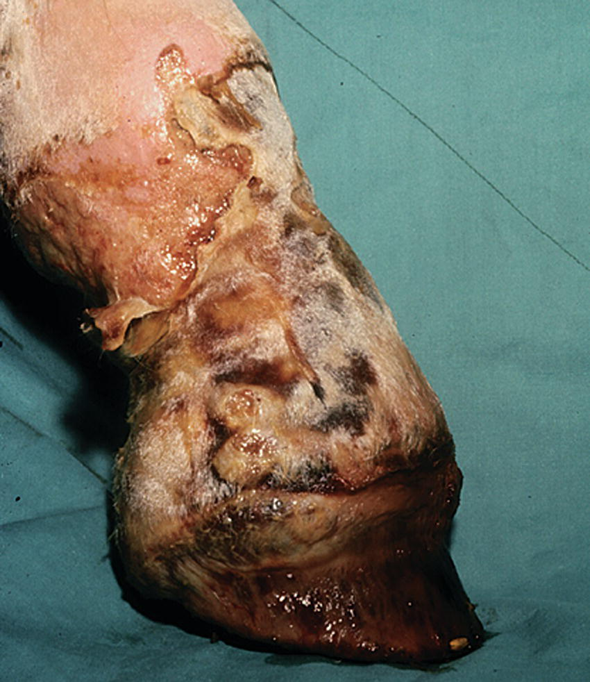 Photo displaying a horse with a vascular injury to the pastern.