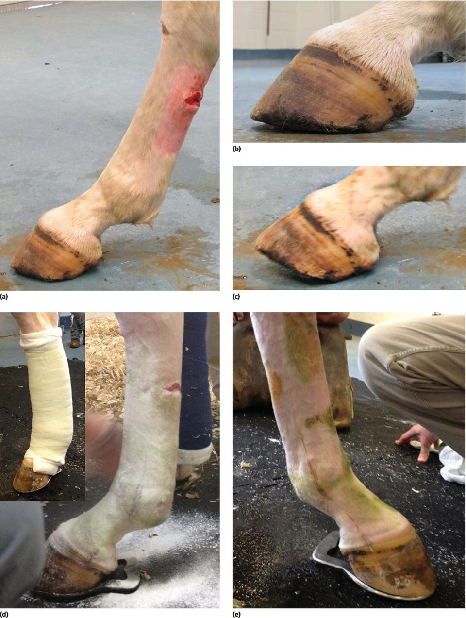 Photos displaying transection of the DDFT in the metatarsal region displaying toe elevation but no fetlock hyperextension (a–c). Photos displaying horse limbs with fishtail shoe applied, with inset (d–e).