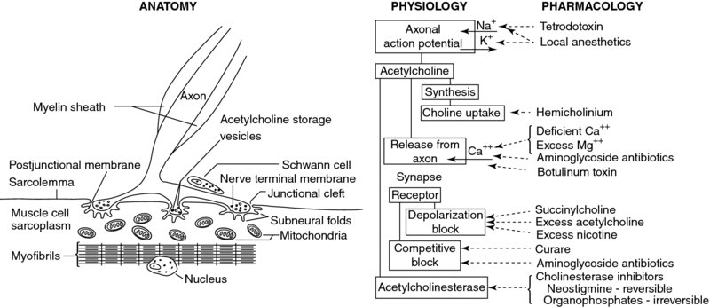 Diagram shows anatomy, physiology, and pharmacology having several markings with description.