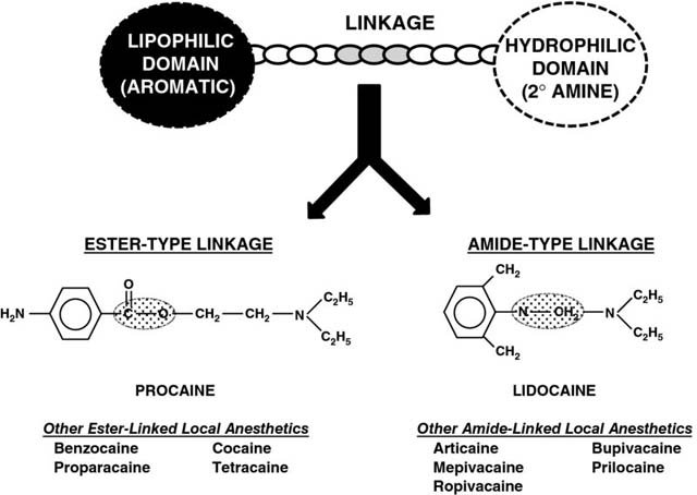 Diagram shows lipophilic domain linking hydrophilic domain leading to ester-type linkage and amide-type linkage.