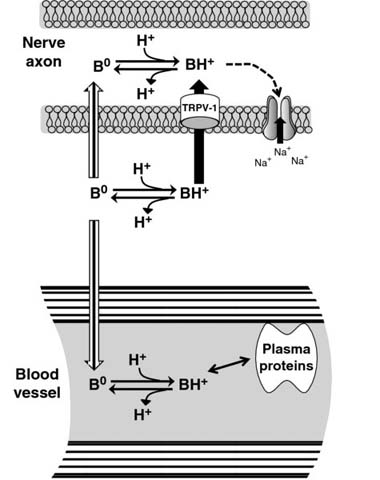 Diagram shows nerve axon and blood vessel linked together with B0 along with plasma proteins.