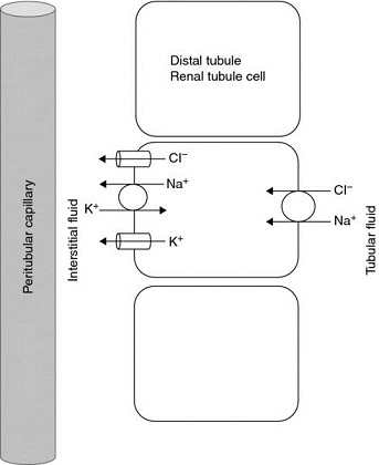 Diagram shows ion movement  of thiazide diuretic effect having peritubular capillary with interstitial fluid.