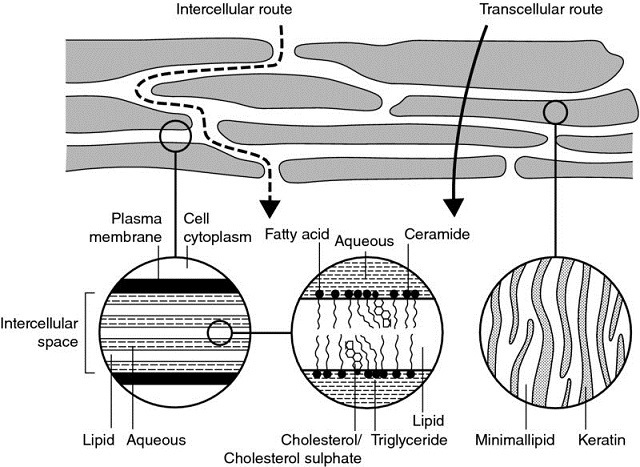 Diagram shows model of lipid bilayer with markings for intercellular route, transcellular route, plasma membrane, cell cytoplasm, intercellular space, lipid, aqueous, et cetera.
