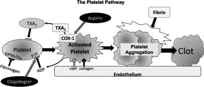 Diagram shows sequence of events with endothelium, platelet, activated platelet, platelet aggregation, finally to clot.