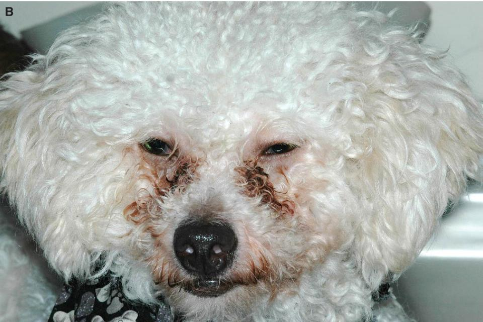 Photo of a young Bichon Frise with blepharospasm secondary to distichiasis and a corneal ulcer.