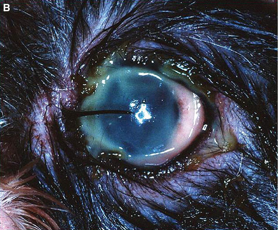 Close-up photo of an animal's eye with mucopurulent discharge.