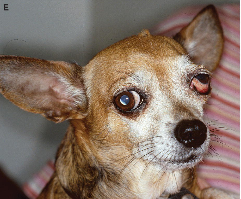 Photo of a Chihuahua with dorsal strabismus of the left globe.