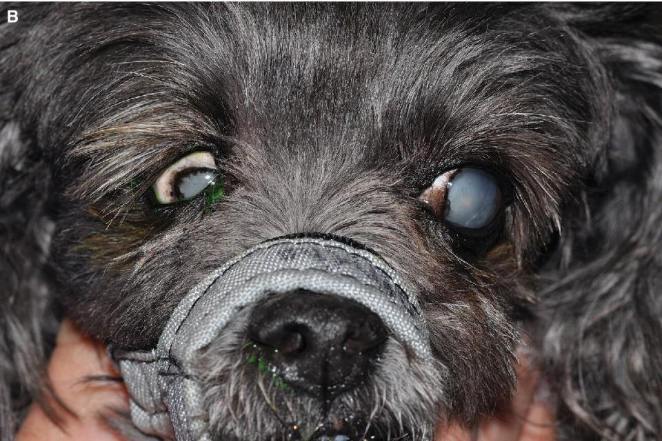 Photo of a dog with phthisis bulbus.
