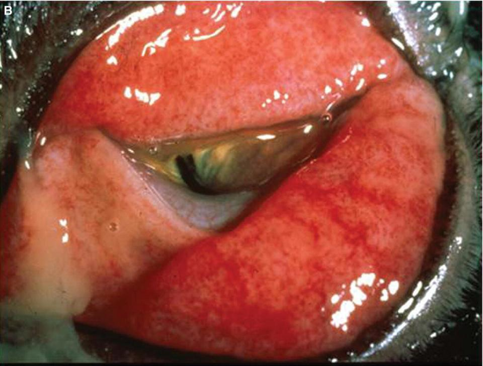 Photo displaying severe conjunctival hyperemia in a cat affecting the upper and lower palpebral conjunctiva and the conjunctiva of the nictitans.